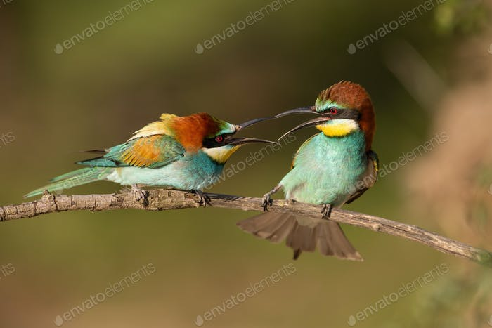 Pair of european bee-eaters, merops apiaster, figahting