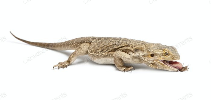 Thumbnail for Central Bearded Dragon, Pogona vitticeps, eating a cricket in front of white background