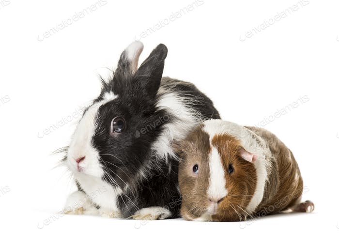 Guinea pig and rabbit sitting against white background