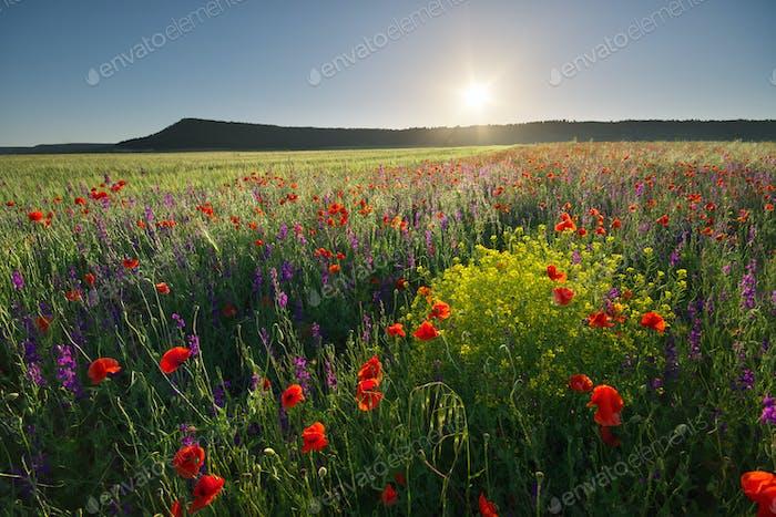 Poppies meadow landscape.