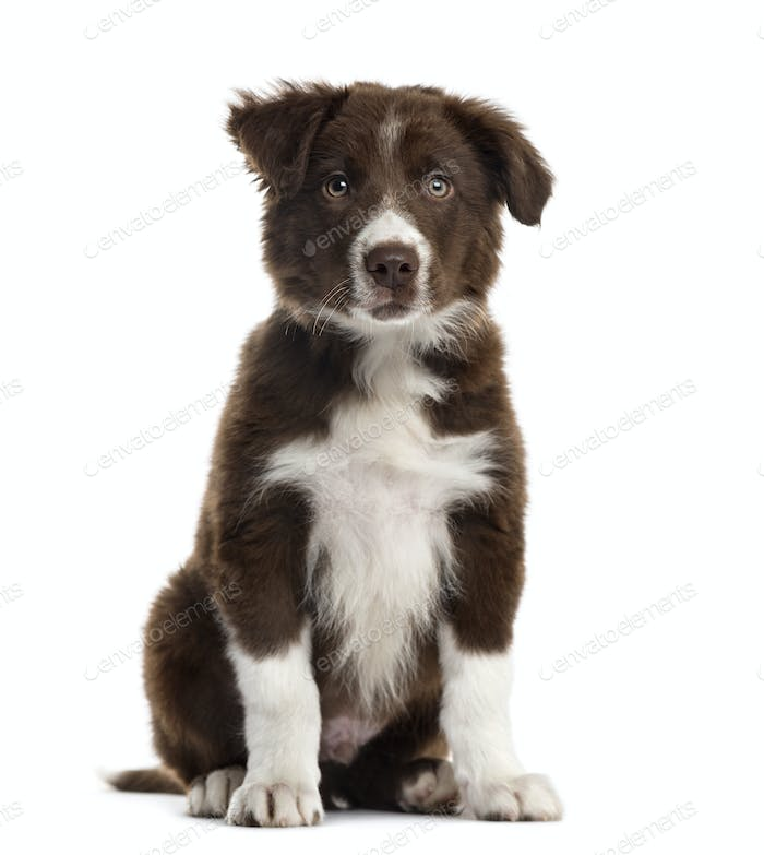 Border Collie puppy isolated on white