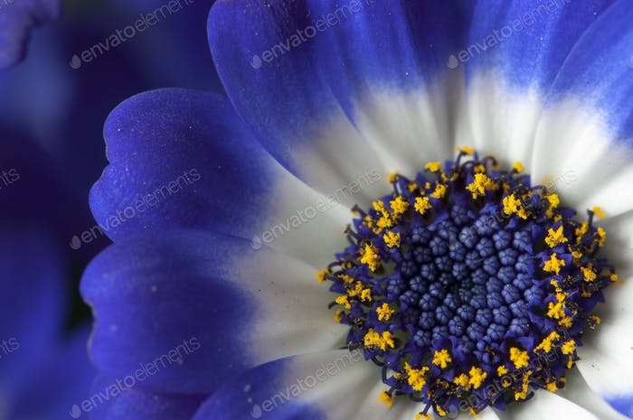 Blue, Wite and Yellow Daisy