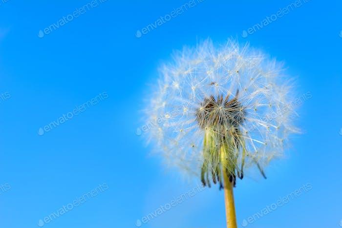Dandelion globular head of seeds on the blue sky background