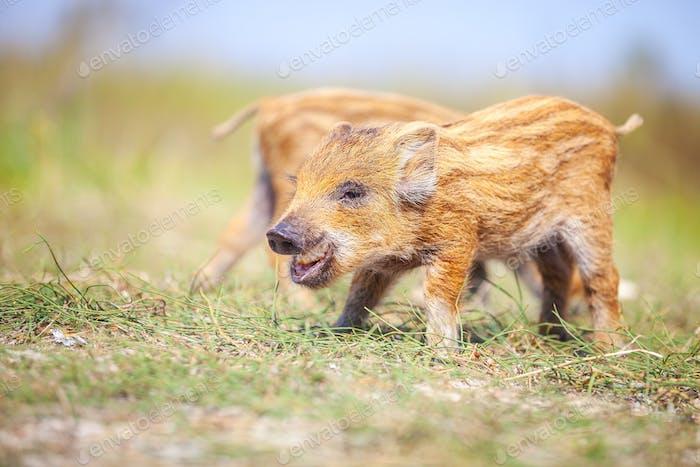Wild piglets