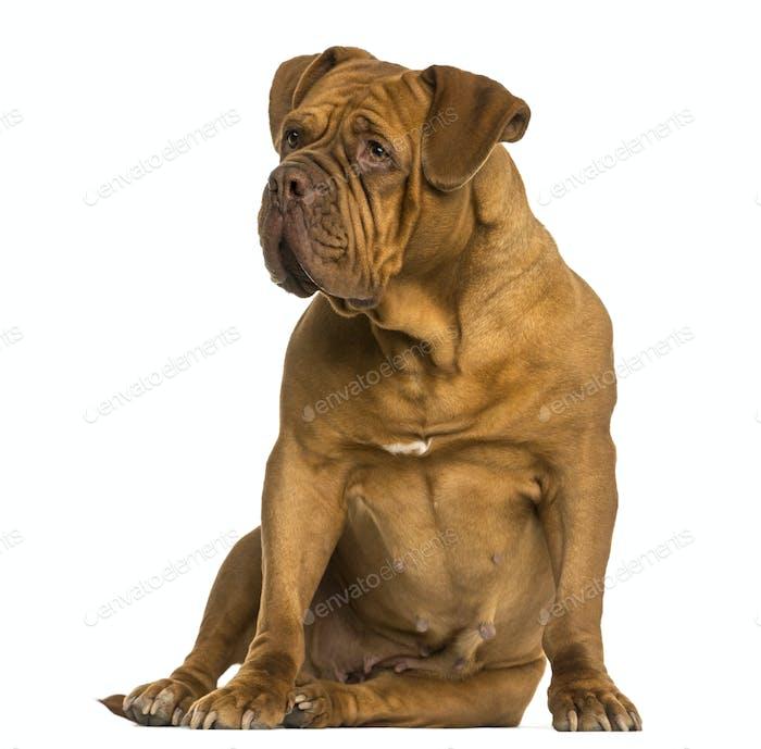 Dogue de Bordeaux sitzend, wegschauend, isoliert auf weiß