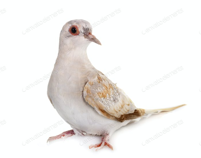 Diamond dove in studio