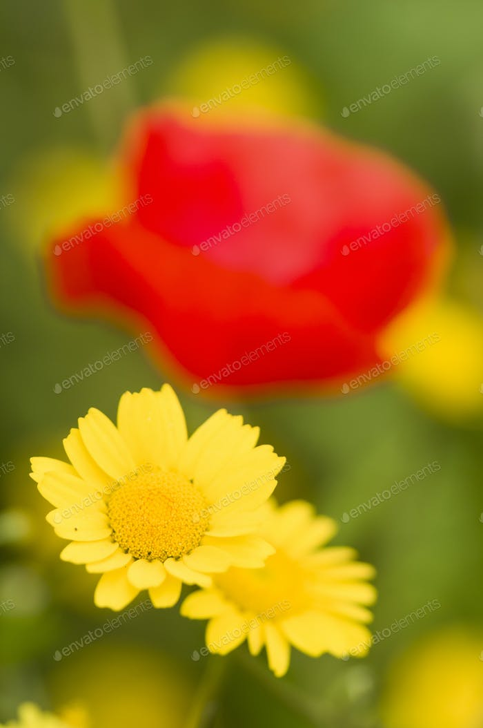 Yellow field flowers and red poppy