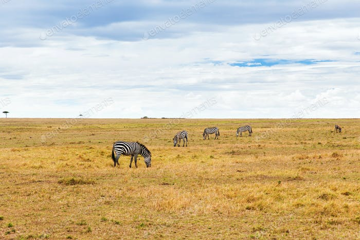 zebras grazing in savannah at africa