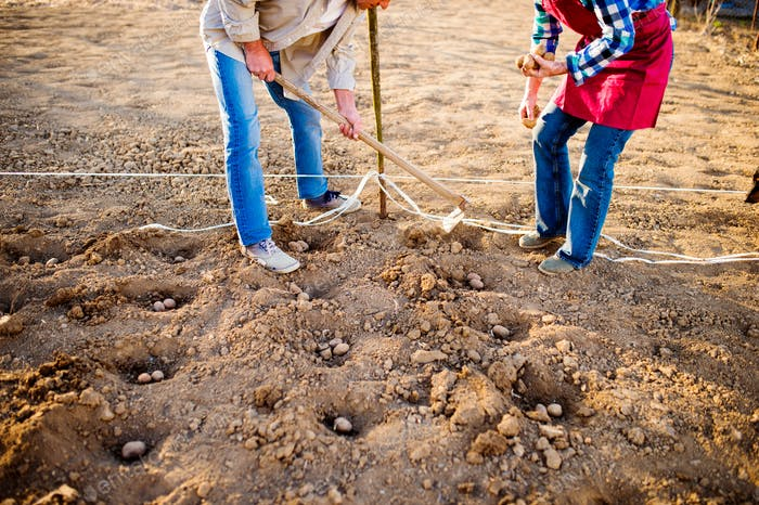 Unrecognizable senior couple planting potatoes in a row into ground