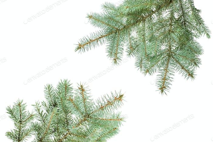 Zweig der Tannenbaum isoliert auf weiß