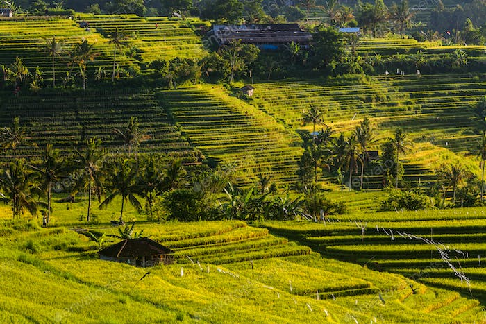 Rice terraces at sunrise. Bali