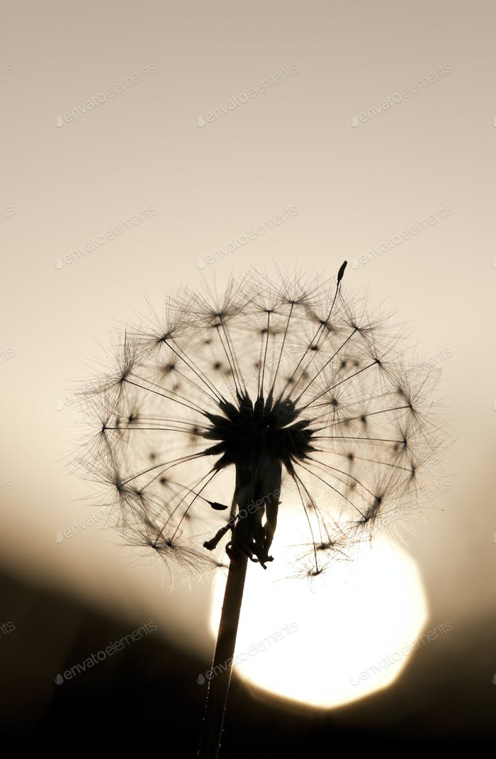 Dandelion Against Setting Sun