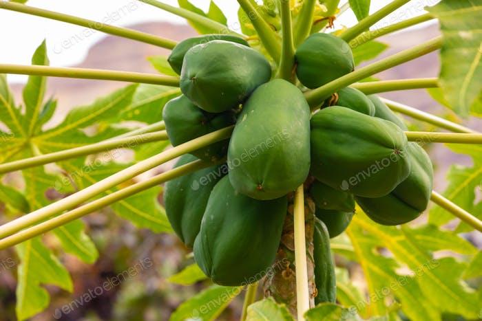 Fresh Green Papayas Growing On Tree At Plantation