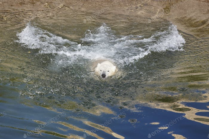 Thumbnail for Polar bear swimming on the water. Wildlife. Nature background