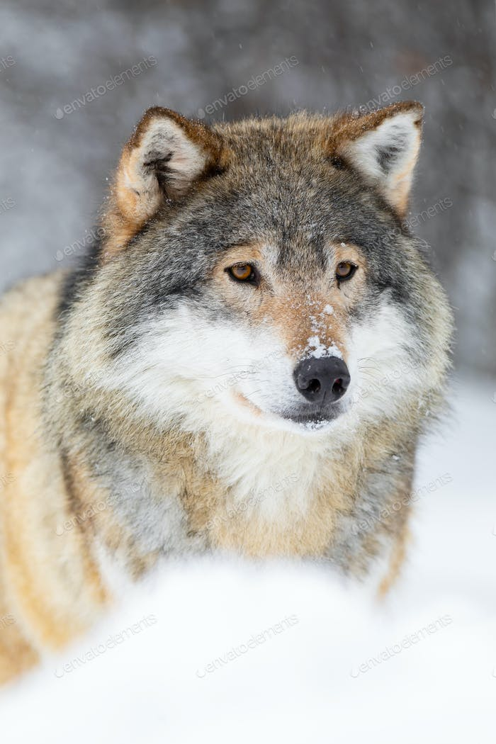 Focused wolf stands in beautiful and cold winter forest