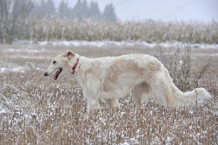 White Russian wolfhound