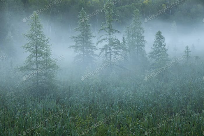 Pine trees in morning mist in northern Minnesota