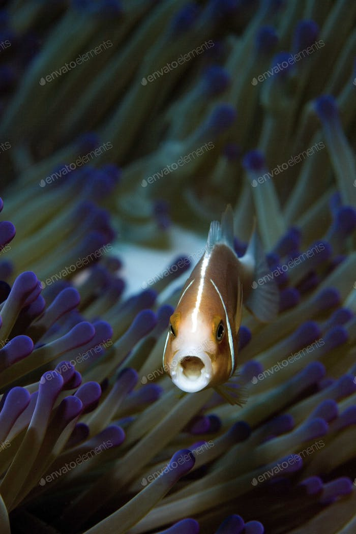 Pink anemonefish, Amphiprion perideraion, photographed on the Great Barrier Reef in Australia.