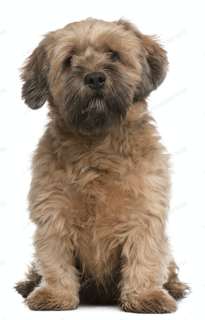 Mixed-breed dog, 6 years old, sitting in front of white background
