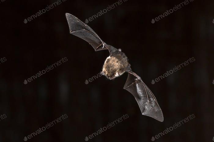 Flying Natterers bat looking down