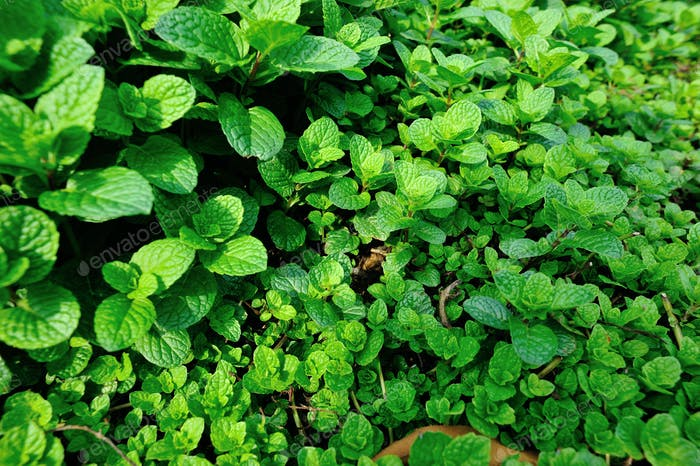 Mints plants in growth at garden