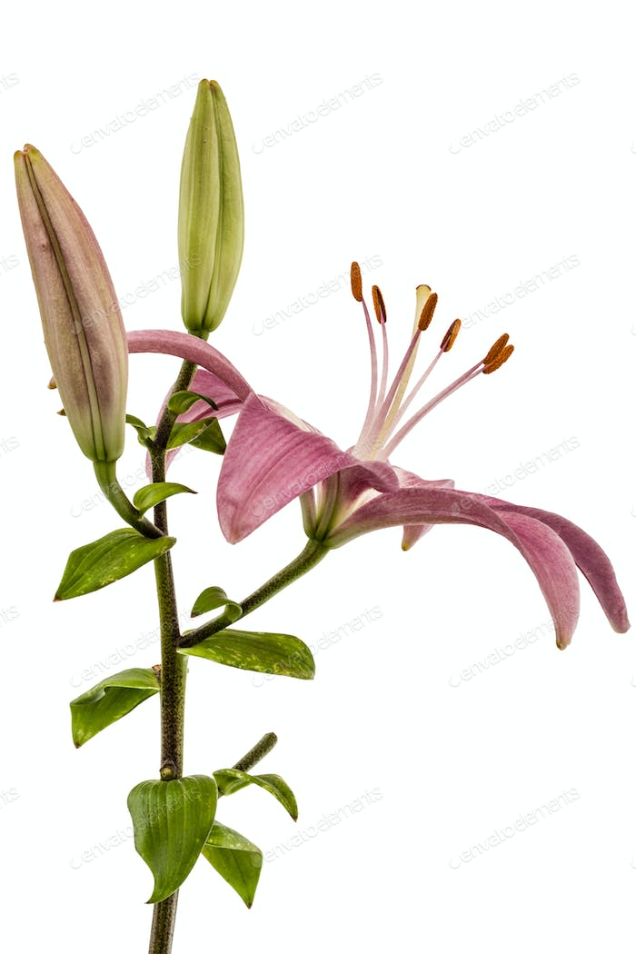 Flower of a pink lily, isolated on white background