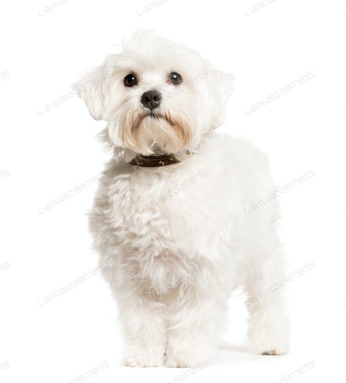 Mixed-breed Dog sittingand looking the camera, Dog, pet, studio photography, cut out