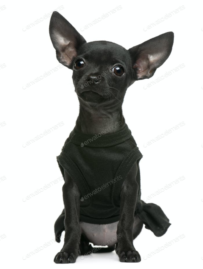 Chihuahua puppy, 3 months old, dressed up and sitting in front of white background