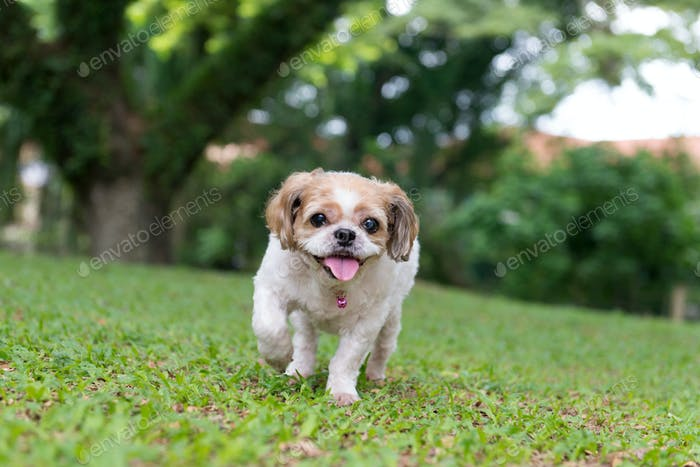 Portrait of a cute Shih Tzu dog
