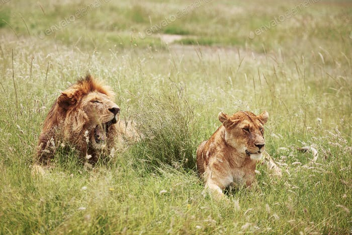 Lion and lioness lying in the grass