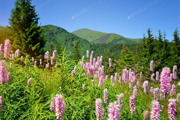 Common bistort (Persicaria bistorta) growing in the mountains