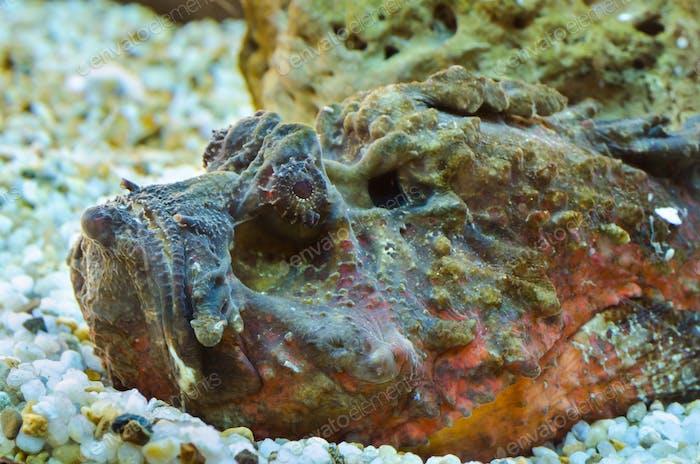 Steinfisch (Synanceia verrucosa)