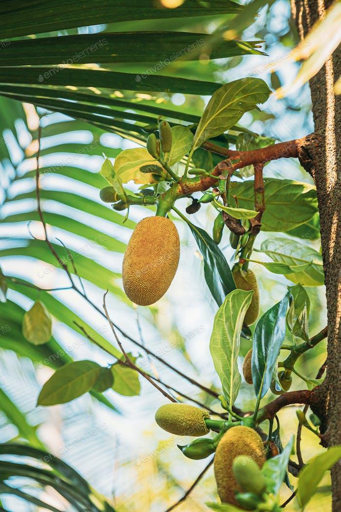 Goa, India. Close View Of Jackfruit On Tree