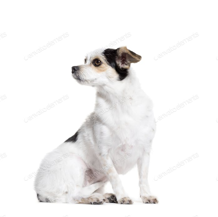 looking away Mixed-breed dog sitting in front of a white background