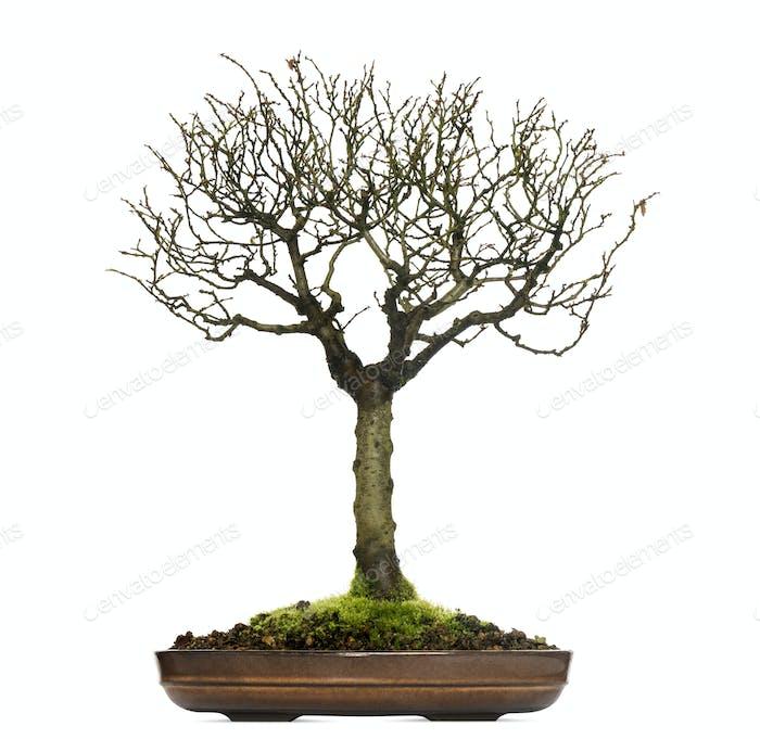 Zelkova bonsai tree, isolated on white