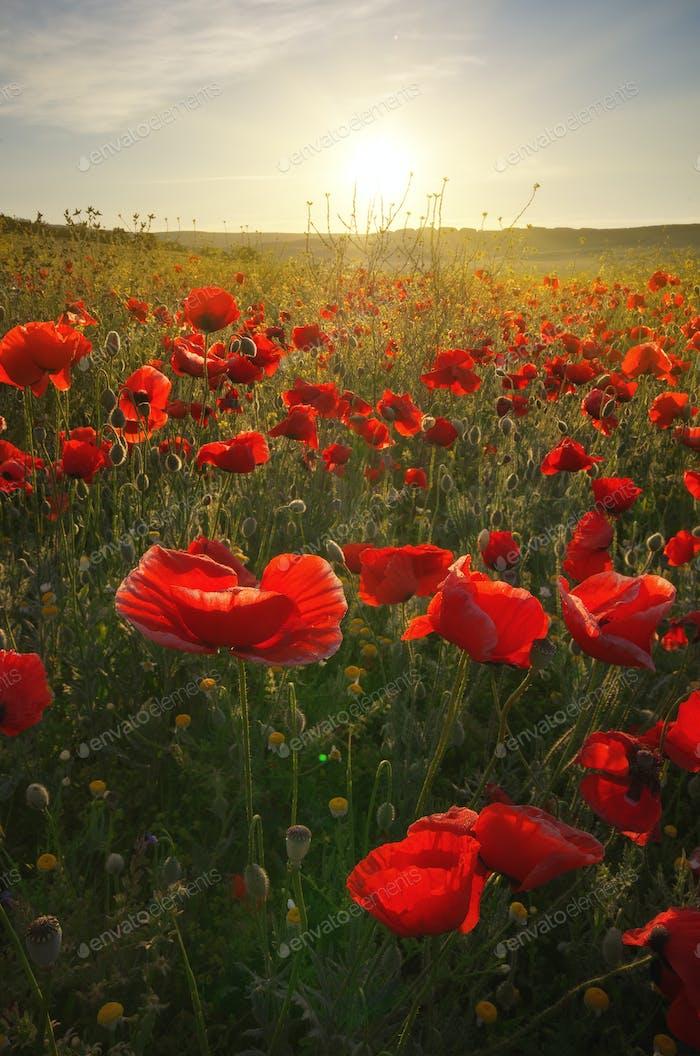 Spring poppy flowers  in meadow