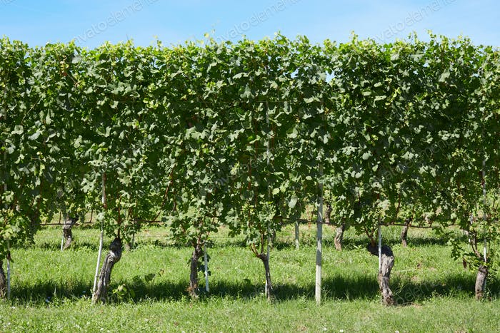 Green vineyard, vines hedge in a sunny day