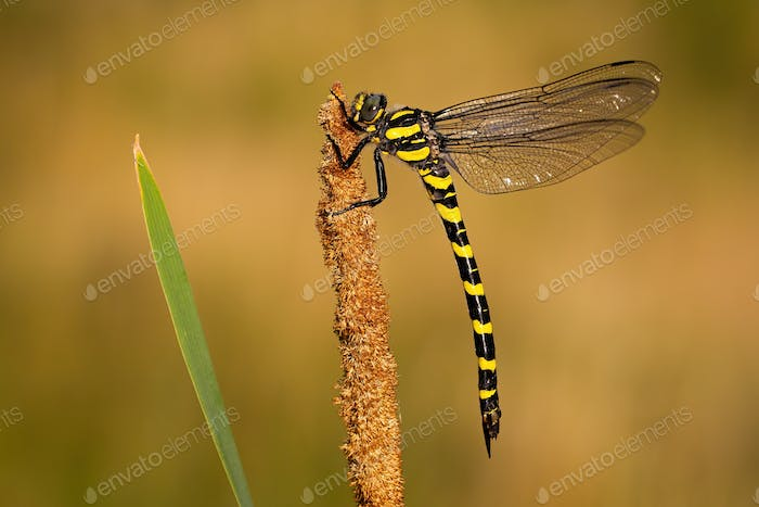 Golden ringed dragonfly with black and yellow stripes at sunset