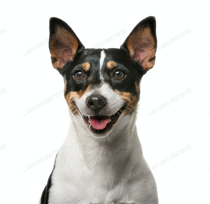 Jack Russell Terrier (7 years old) in front of a white background