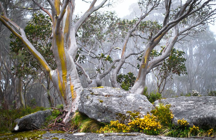 Snow Gum Trees in the Fog in Australia