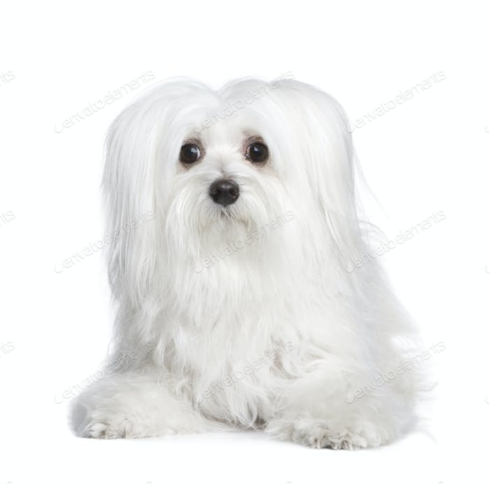 maltese dog (8 years)