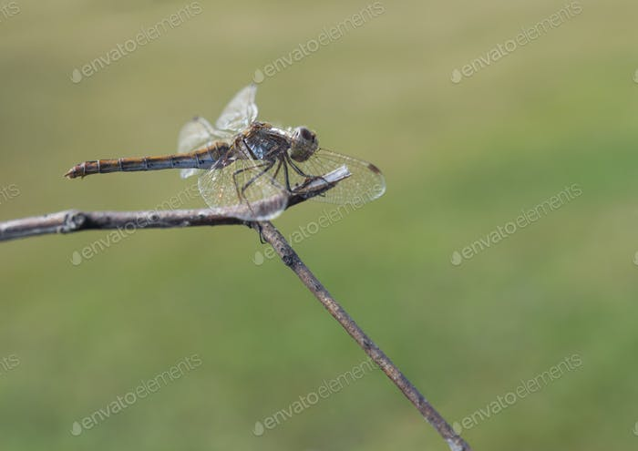 Beautiful dragonfly sits on a dry branch on a background of grass