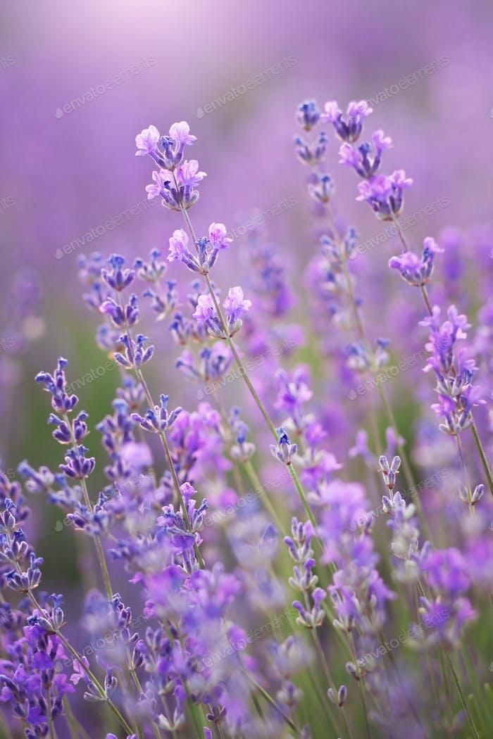 Lavender flowers nature.