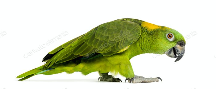 Side view of a Yellow-naped parrot walking (6 years old), isolated on white