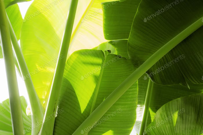 bananas leaves with sunlight