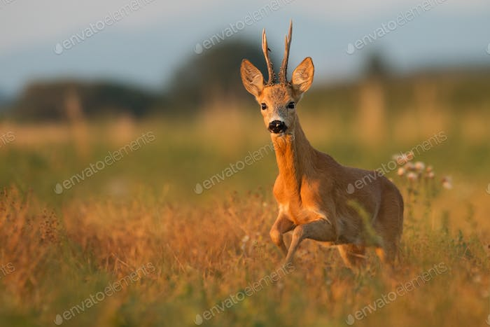 Roe deer standing on the meadow in sunset from front view with space for text