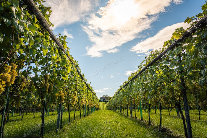 White grapes with green leaves on the vine. fresh fruits. Harvest time early Autumn