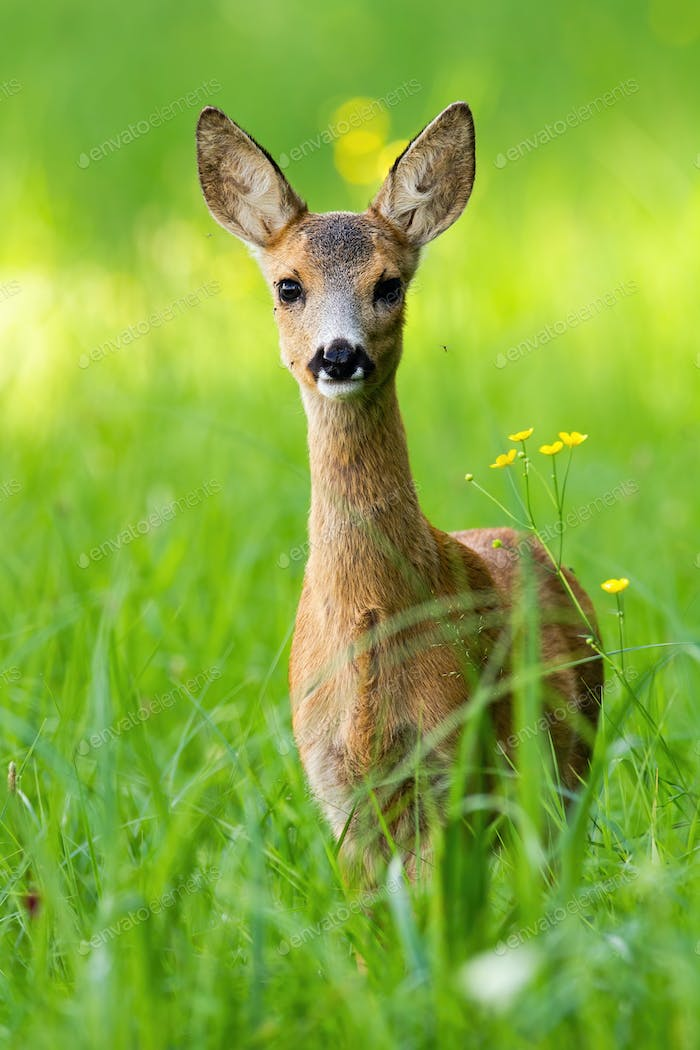 Young roe deer fawn standing on meadow in vertical compostion