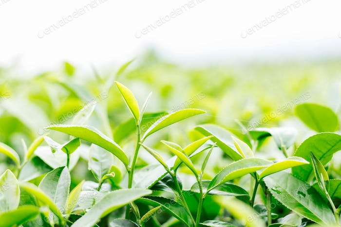 tea leaves with white sky