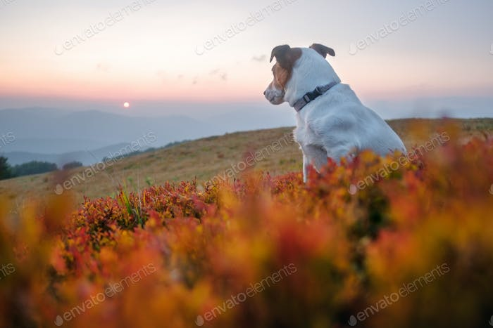 Alone white dog sitting in the red grass